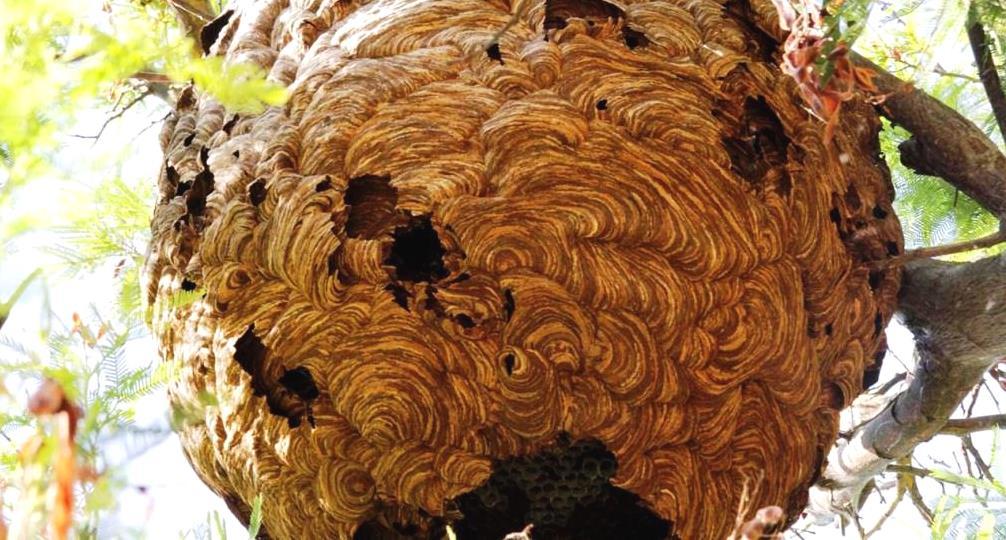 Resultado de imagem para Ninhos de vespa asiática